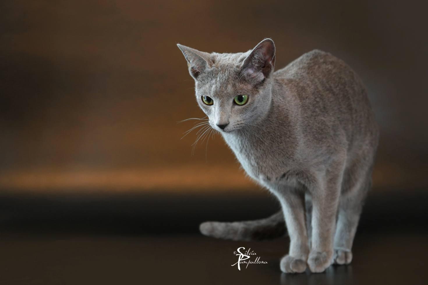 Il Gatto Blu Di Russia Caratteristiche E Curiosità Della Razza