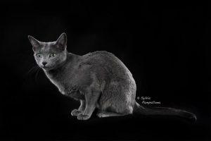 Gatti femmine allevamento Blu di Russia Arian Glas It