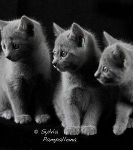 Cuccioli blu di russia - Arian Glas It